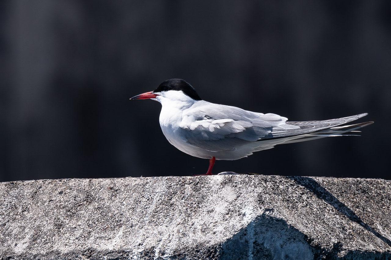 Açores - Pico - Common tern