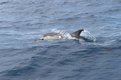 Açores - Pico - Common dolphin