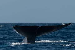Açores - Pico - Blue whale
