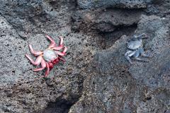 Açores - Pico - Crab