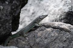 Açores - Pico - Lizard