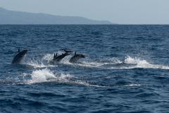 Açores - Pico - Striped dolphin