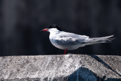 Açores - Pico - Common tern