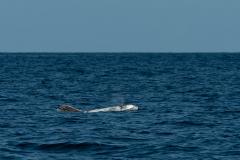 Açores - Pico - Risso's dolphin