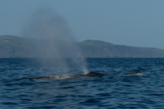 Açores - Pico - Sperm whale