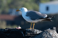 Açores - Pico - Yellow-legged gull