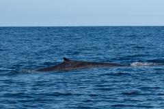 Açores - Pico - Fin whale