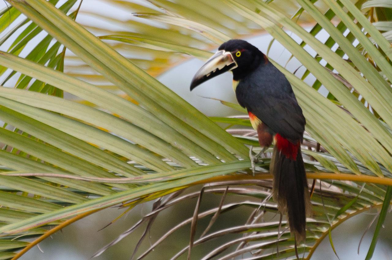 Turrialba - Collared Aracari