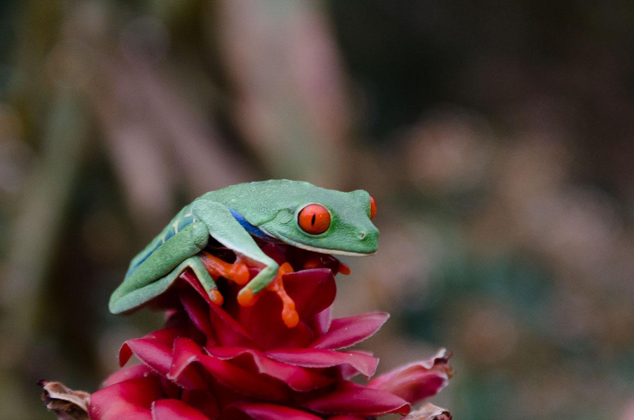 Turrialba - Gaudy Leaf Frog