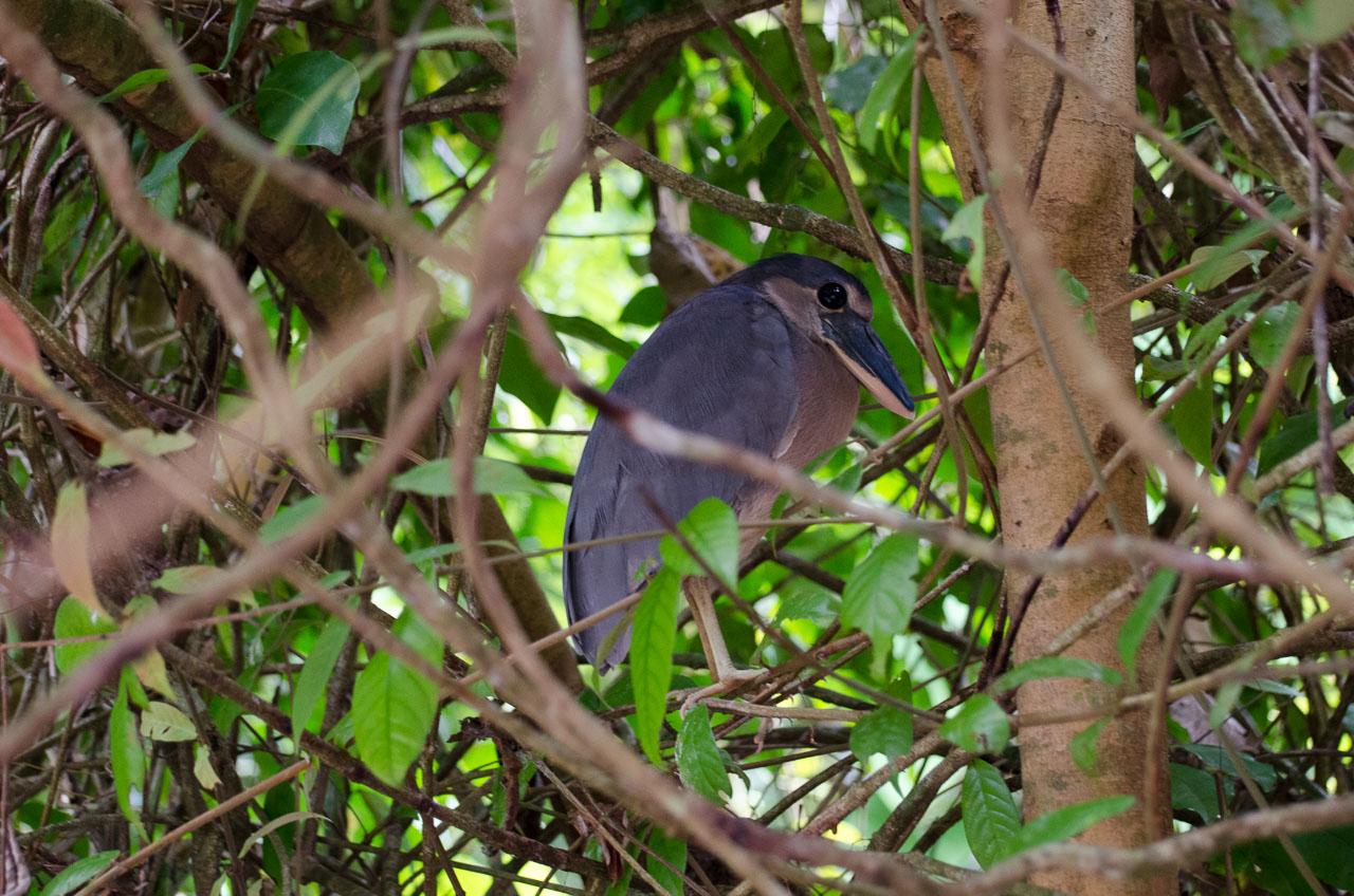 Tortuguero - Boat-billed Heron