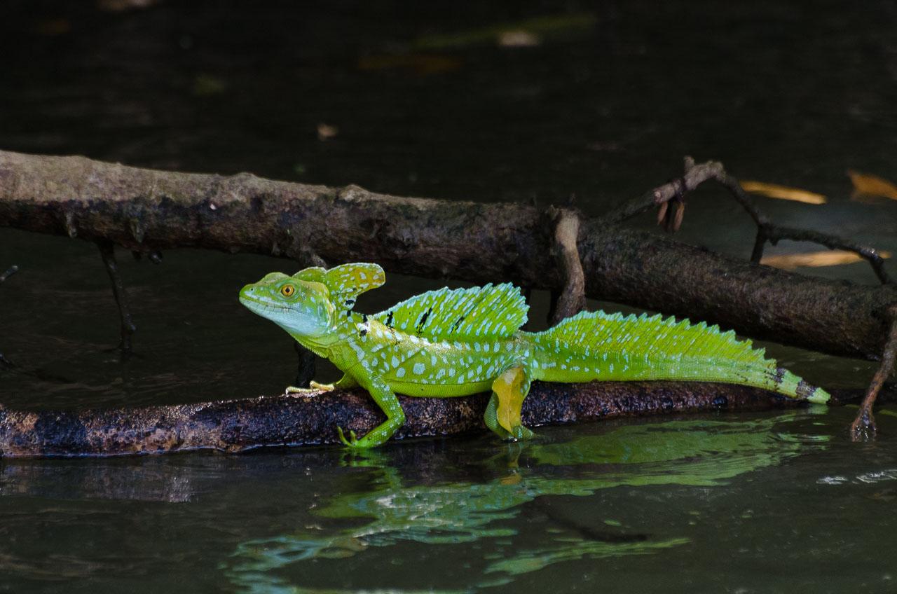 Cano Negro - Emerald Basilisk