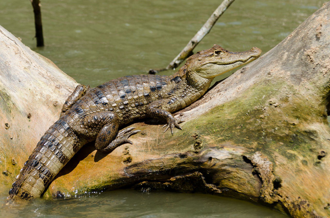Cano Negro - Spectacled Caiman