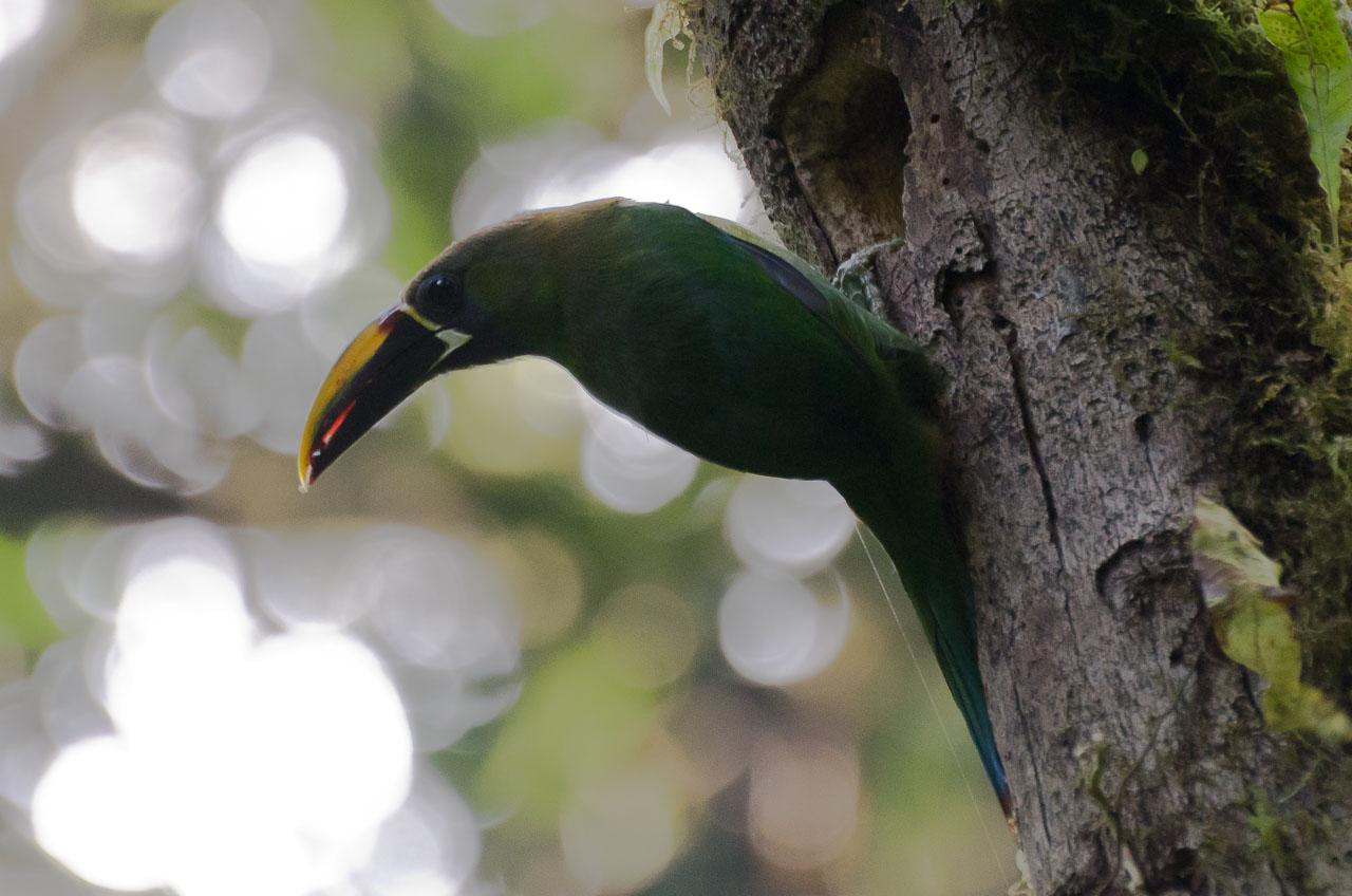 Monteverde - Emerald Toucanet