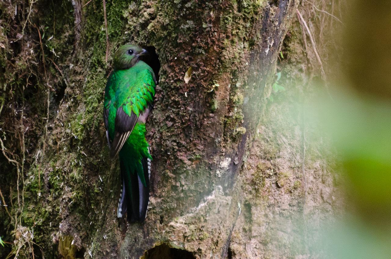 Monteverde - Quetzal [f]