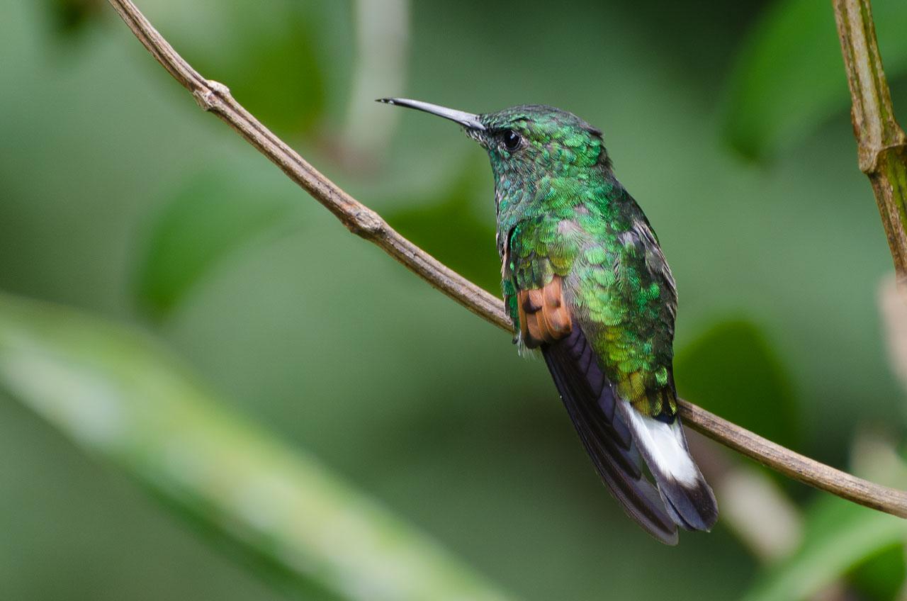 Monteverde - Black-bellied Hummingbird