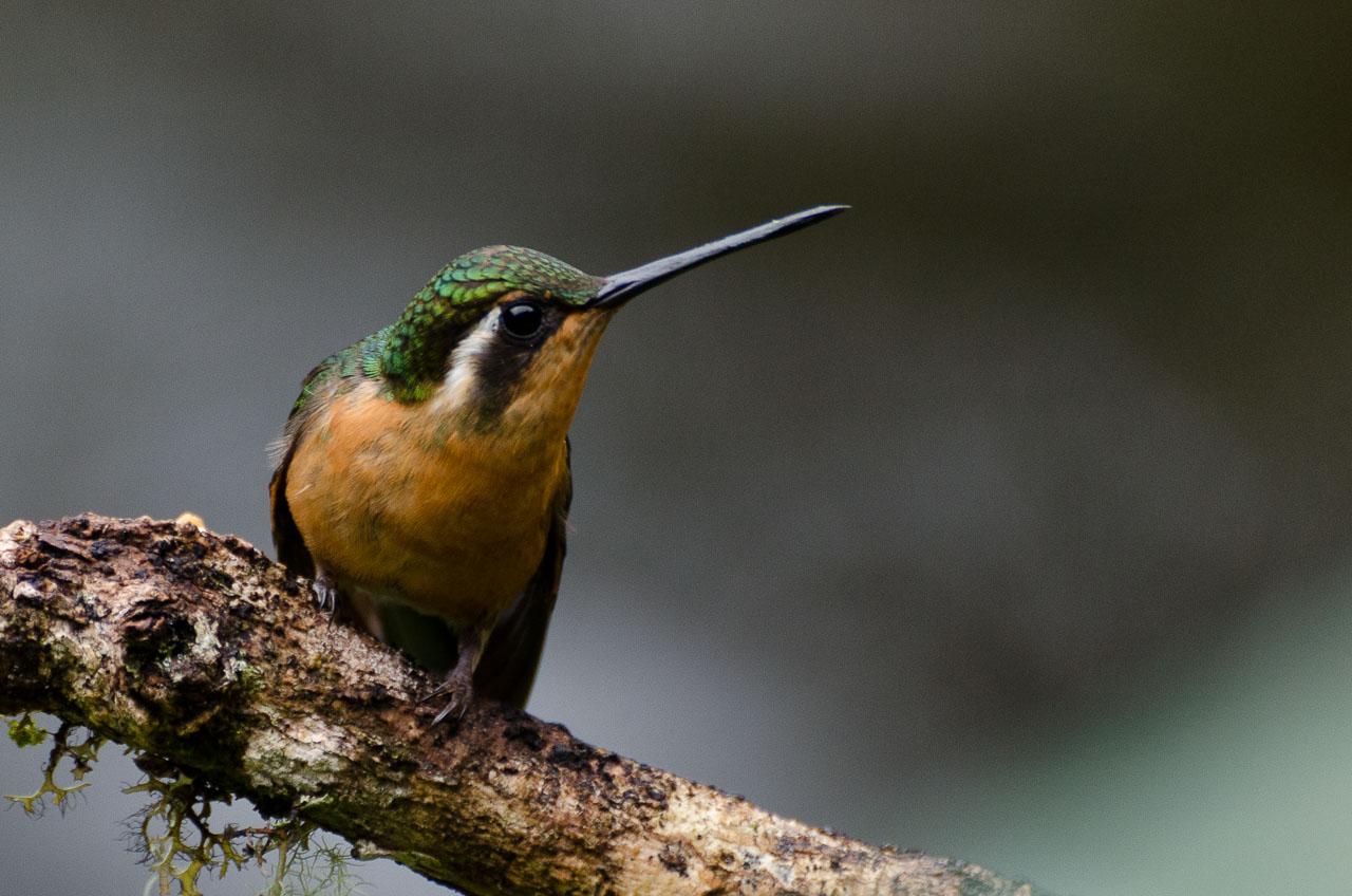San Gerardo de Dota - Cinnamon Hummingbird