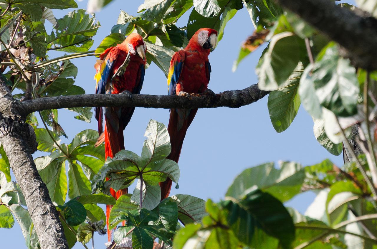 Corcovado - Scarlet Macaw