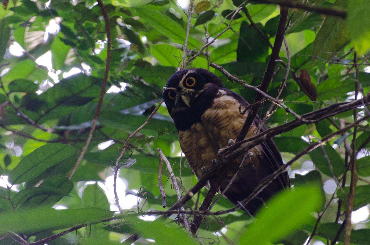 Corcovado - Spectacled Owl