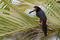 Turrialba - Collared Aracari