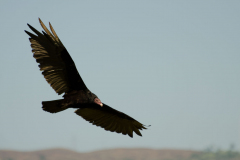 Turrialba - Turkey Vulture