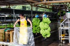 Near Tortuguero - Banana Finca