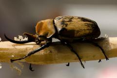 Tortuguero - Rhinoceros Beetle