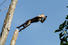 Tortuguero - White-faced Capuchin