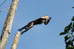Tortuguero - White-faced Capuchin