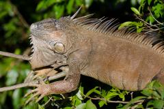 Fortuna - Green Iguana