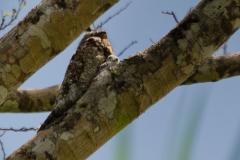 Cano Negro - Common Pauraque