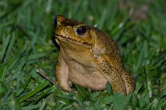 Rincon de la Vieja - Marine Toad