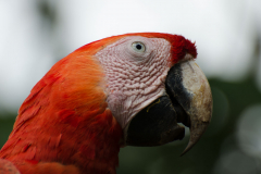 Monteverde - Scarlet Macaw