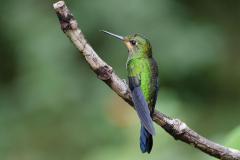 Monteverde - Rufous-tailed Hummingbird