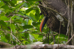 Manuel Antonio - Fiery-billed Aracari