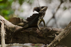Manuel Antonio - Jesus Christ Lizard