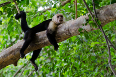 Manuel Antonio - White-faced Capuchin