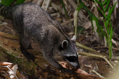 Manuel Antonio - Northern Raccoon