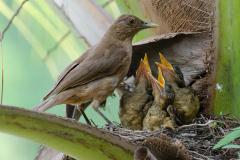 Manuel Antonio - Clay colored Robin (national bird)
