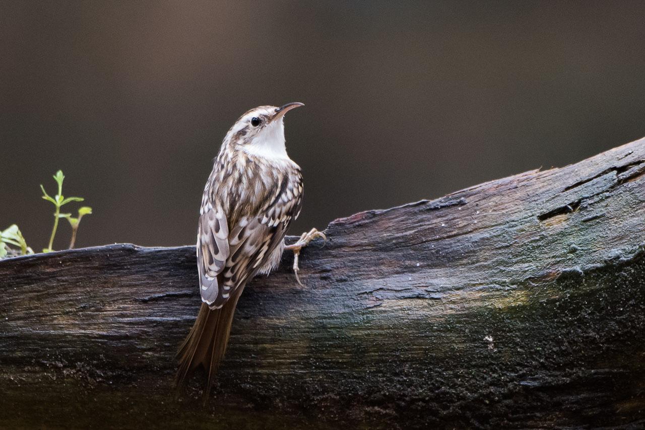 Goois Natuurreservaat  - Boomkruiper