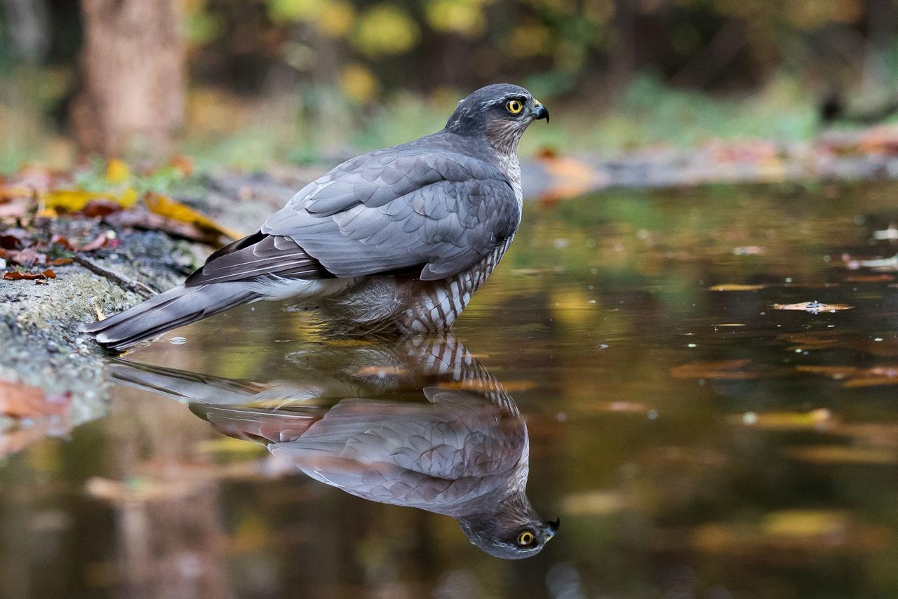 Goois Natuurreservaat  - Sperwer