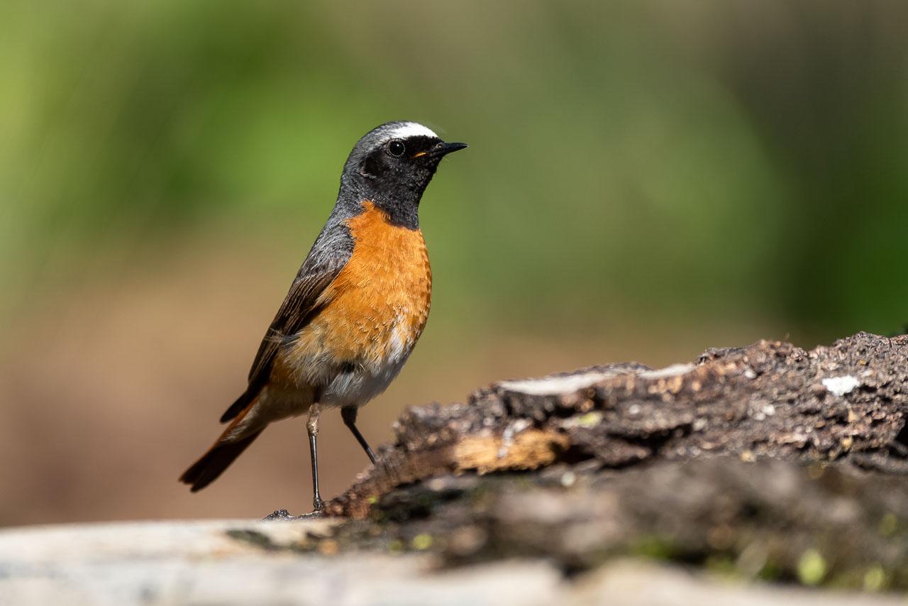 Sallandse Heuvelrug - Gekraagde roodstaart