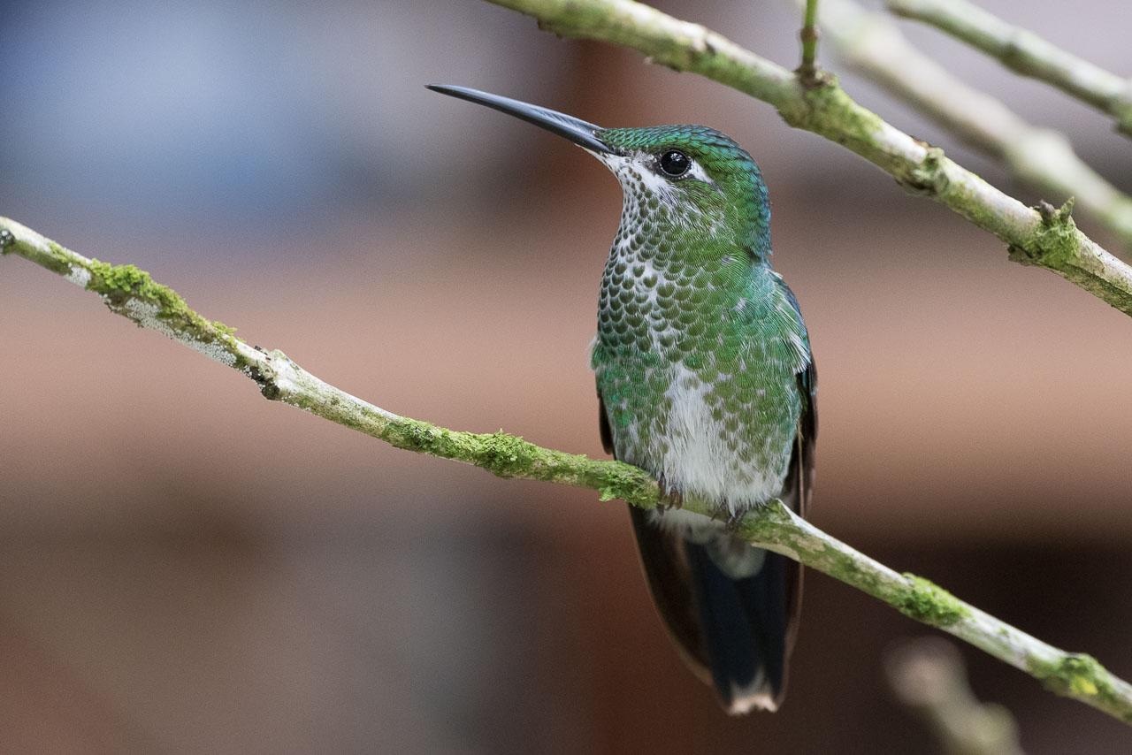 Maquipucuna - Green-fronted brilliant hummingbird