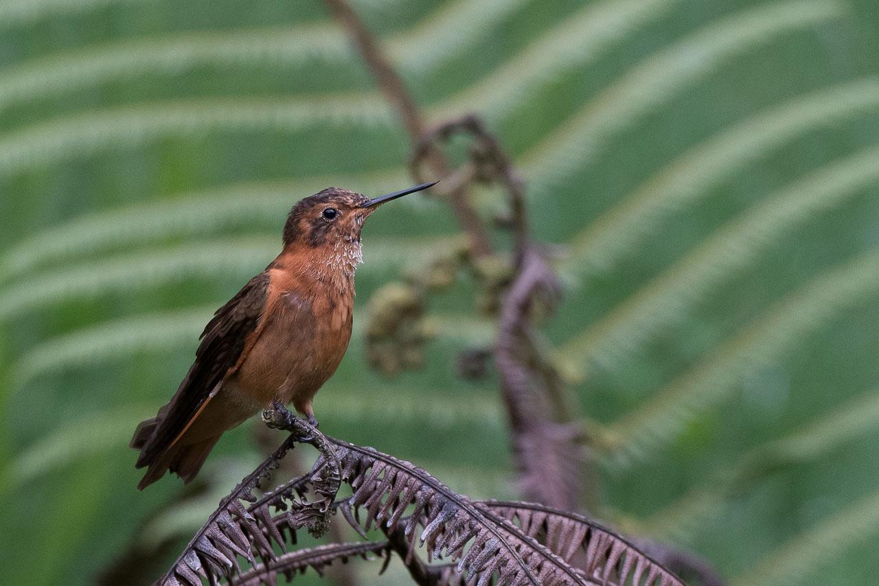 Papallacta - Shining sunbeam hummingbird