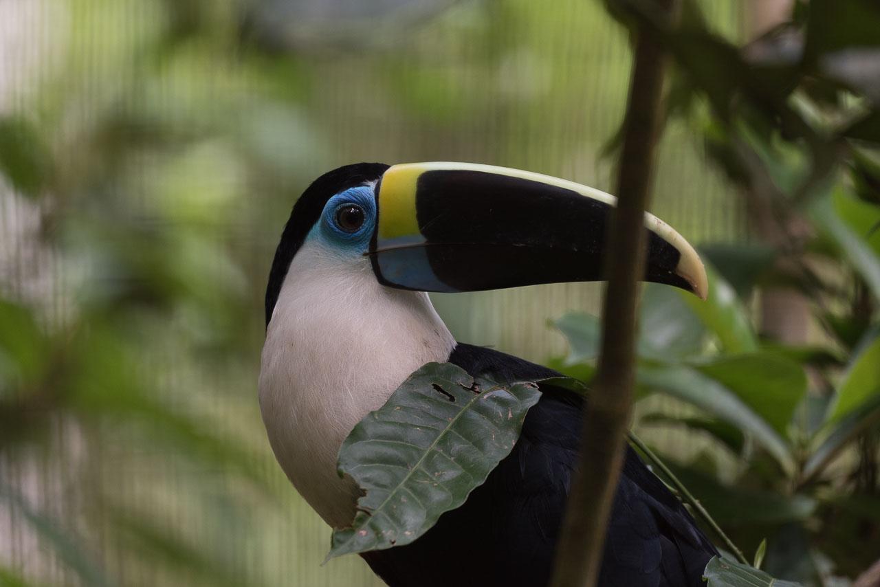 Amazon - White-throated toucan