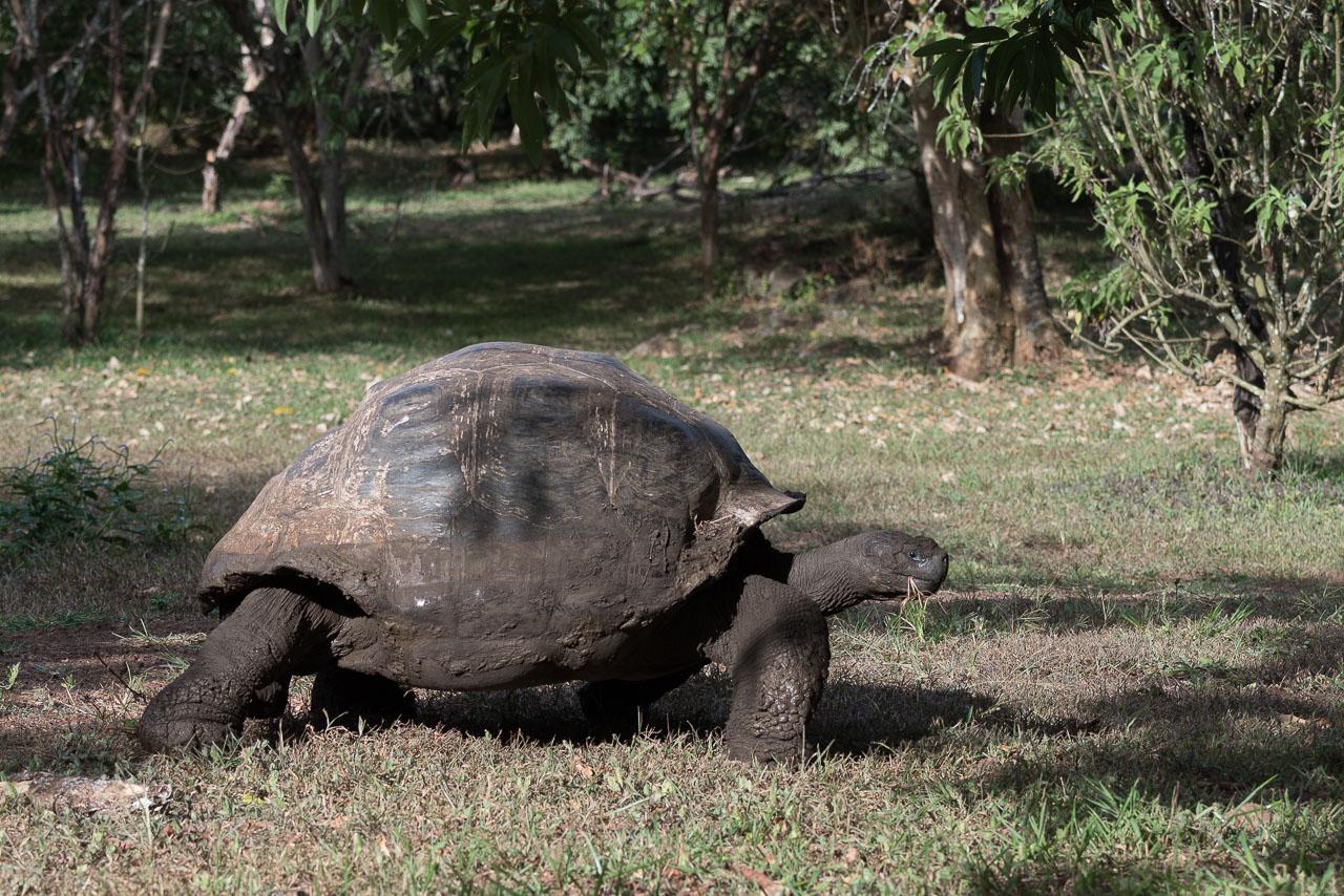 Santa Cruz - Giant tortoise