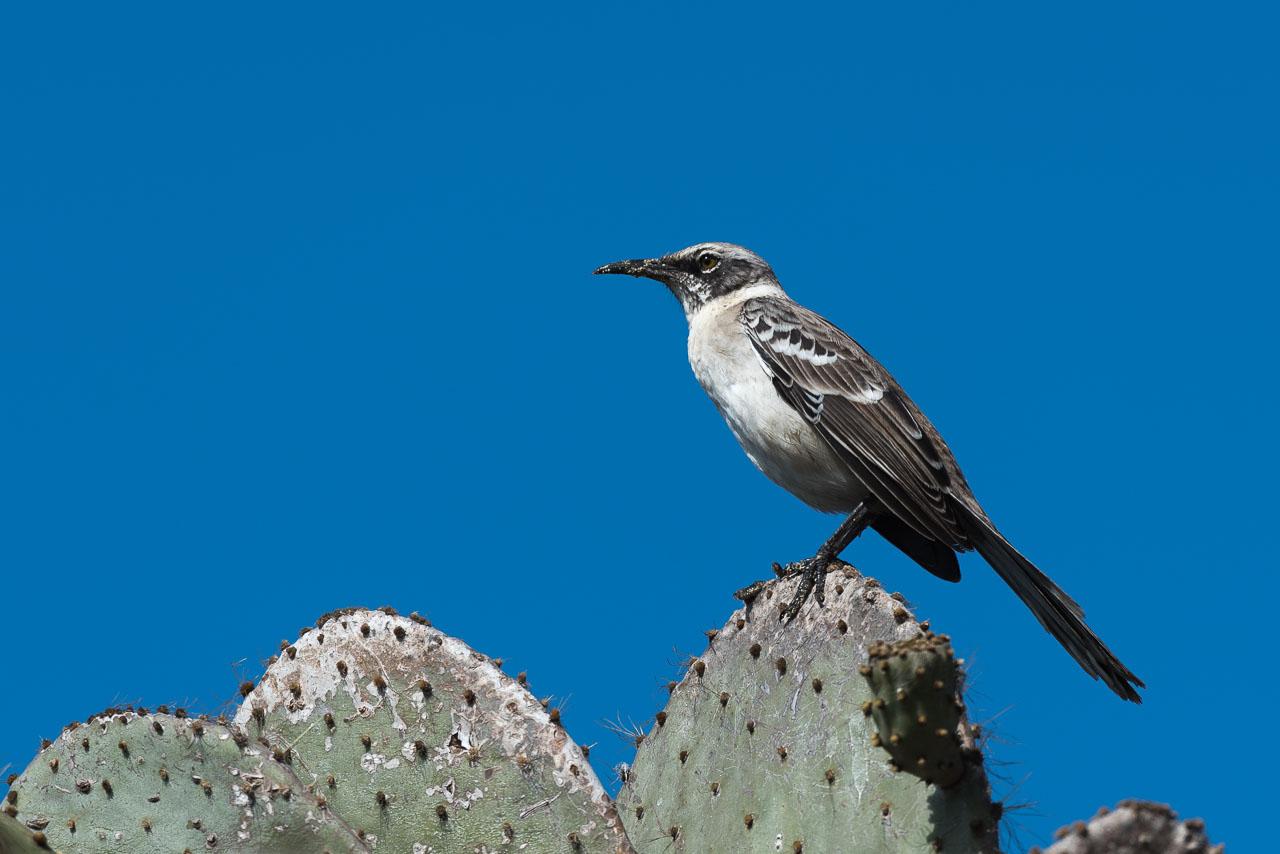 Genovesa - Mockingbird