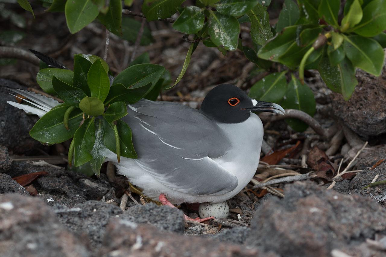 Genovesa - Swallow-tailed gull