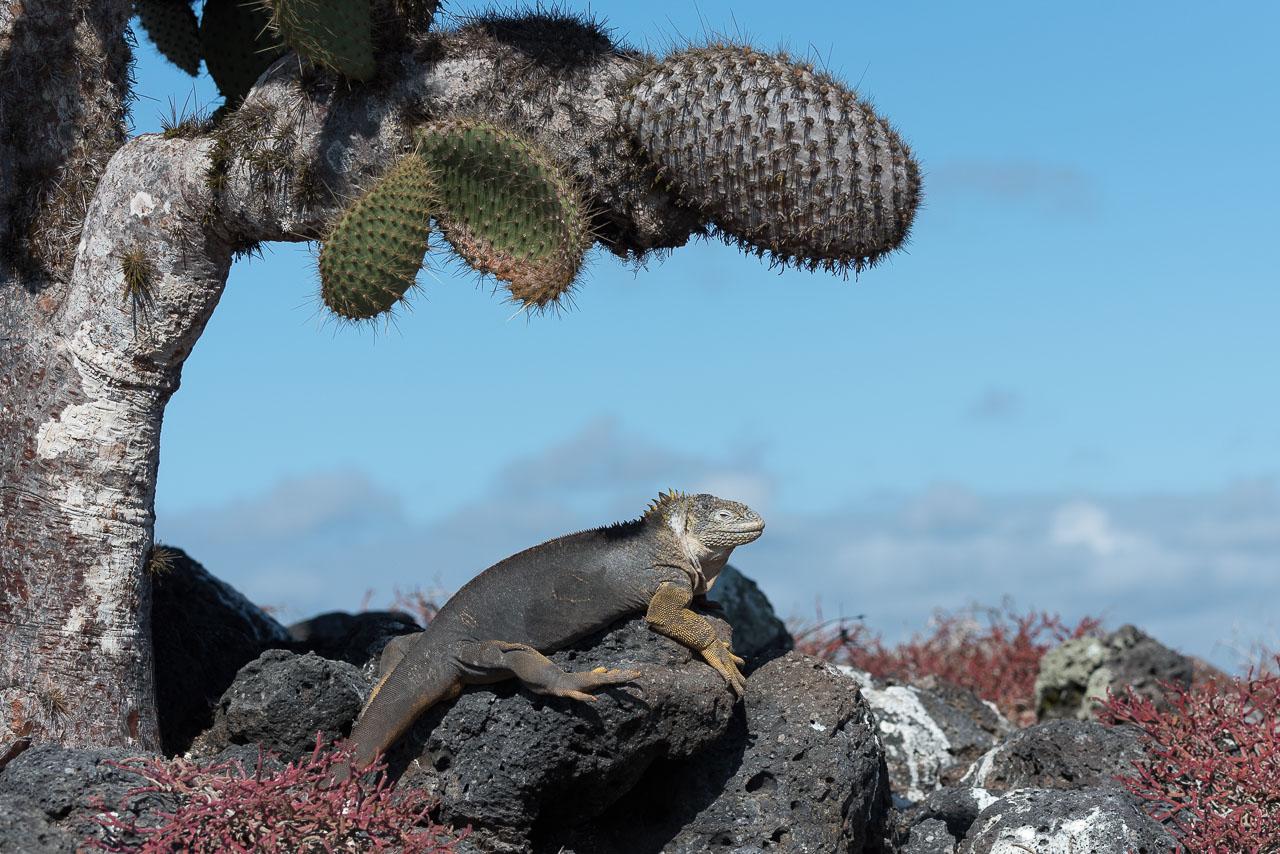South Plaza - Land iguana