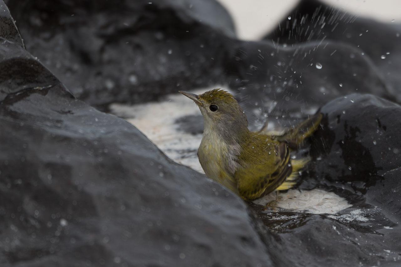 Española - Yellow warbler