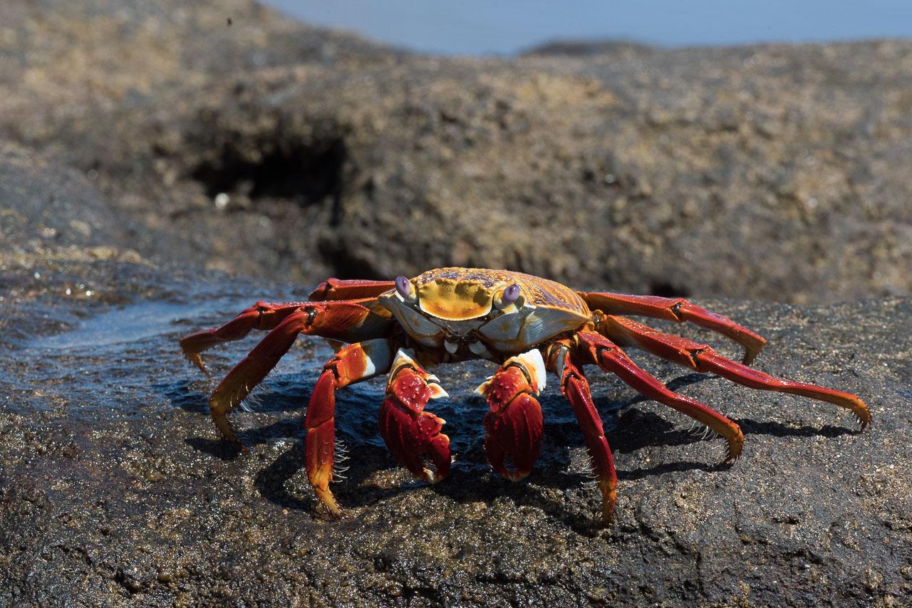 Floreana - Sally lightfoot crab